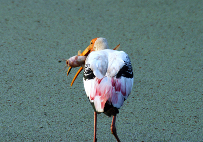 Keoladeo Bird Sanctuary<br />(Bharatpur)
